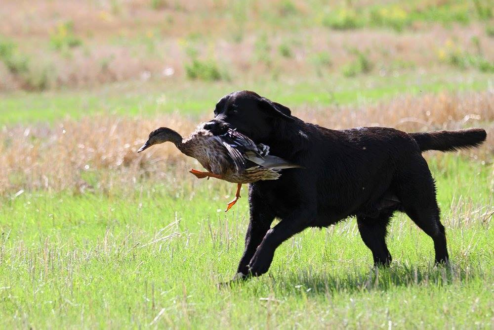 Here Are 5 Of The Best Hunting Dog Breeds Outdoorhub