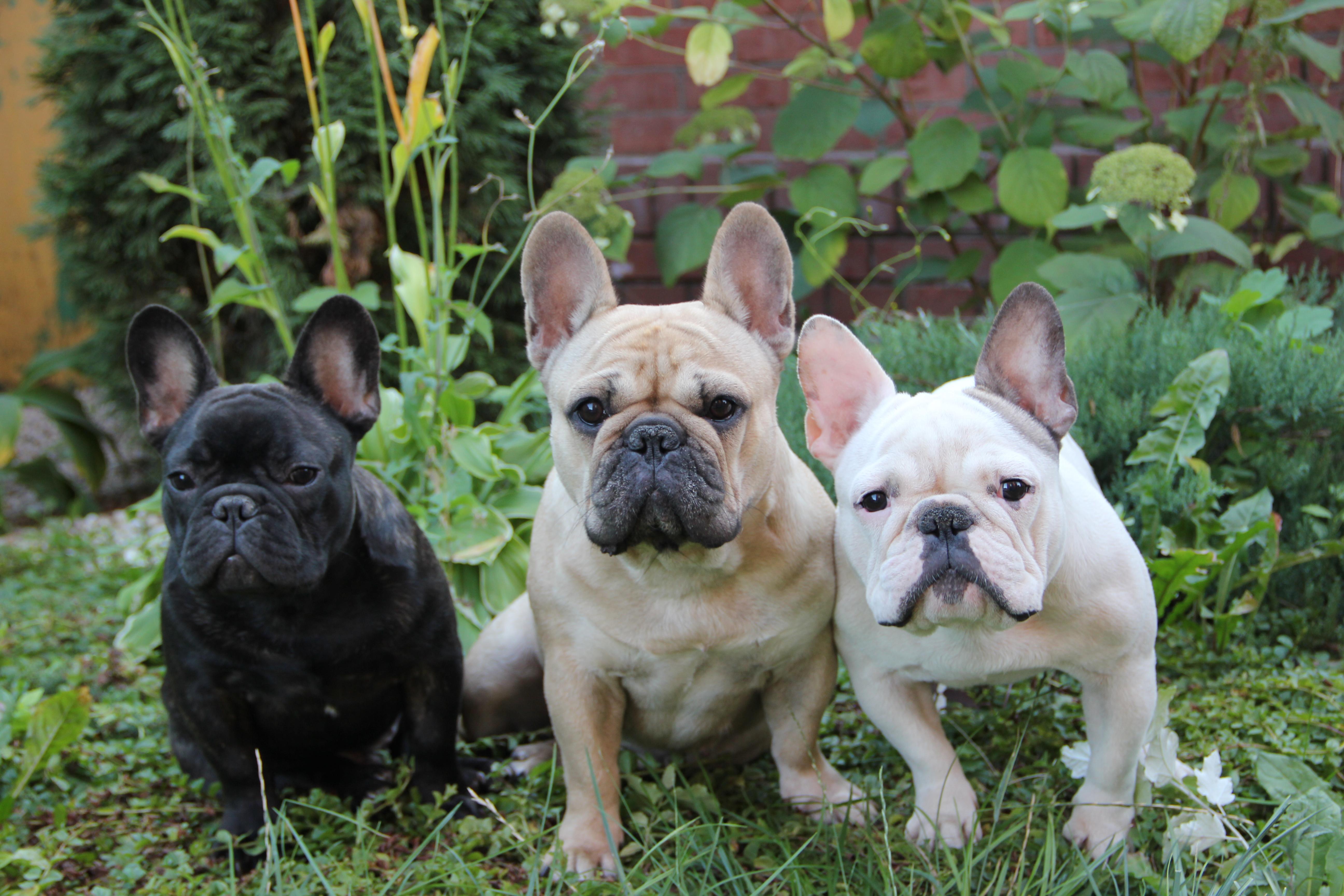 Bulldog Francés Wikipedia La Enciclopedia Libre