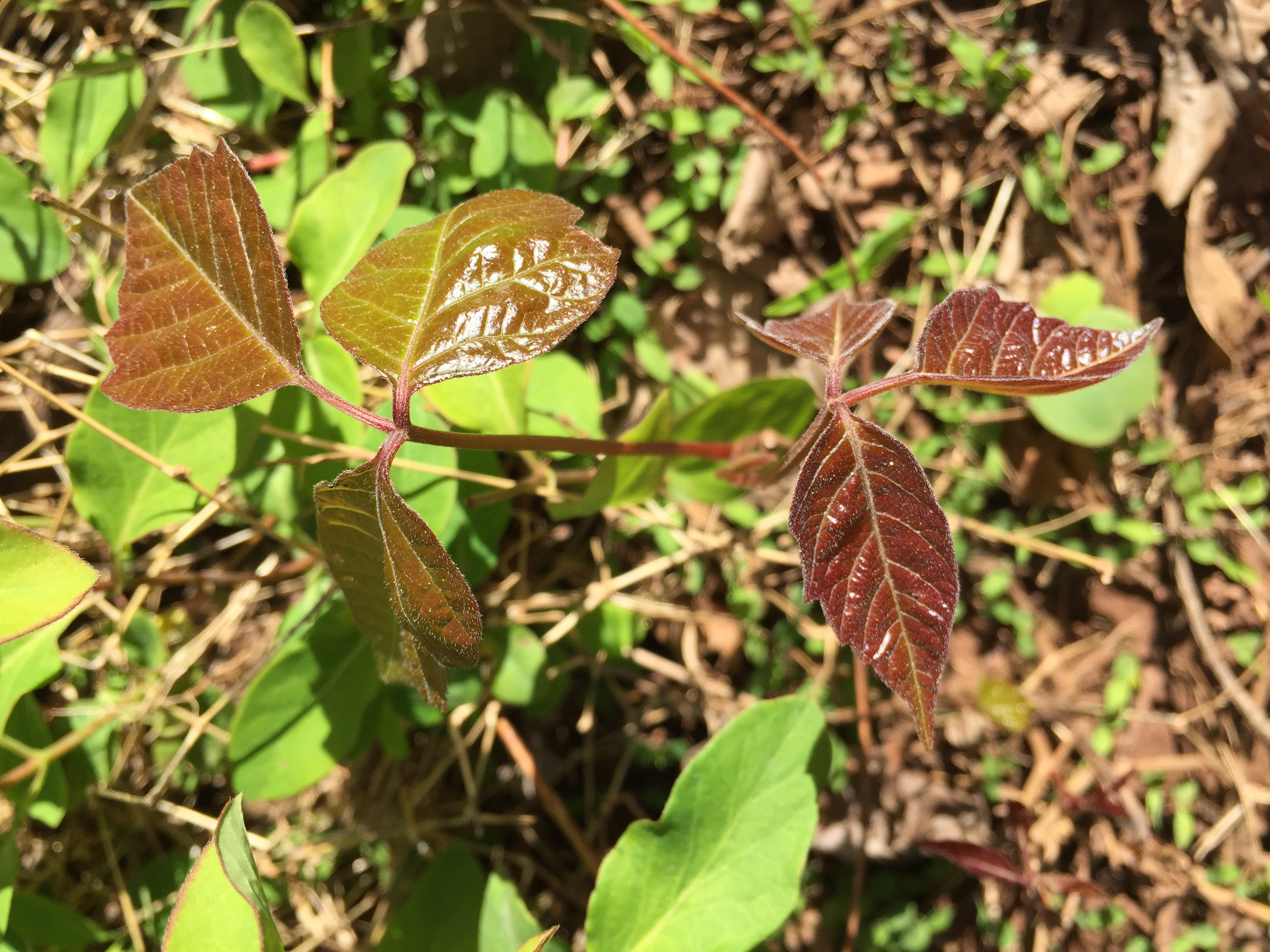 File:2016-04-15 16 33 20 Young foliage of Poison Ivy in ... - photo#27