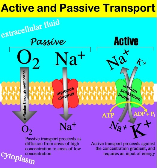 Active-passive transport.jpg