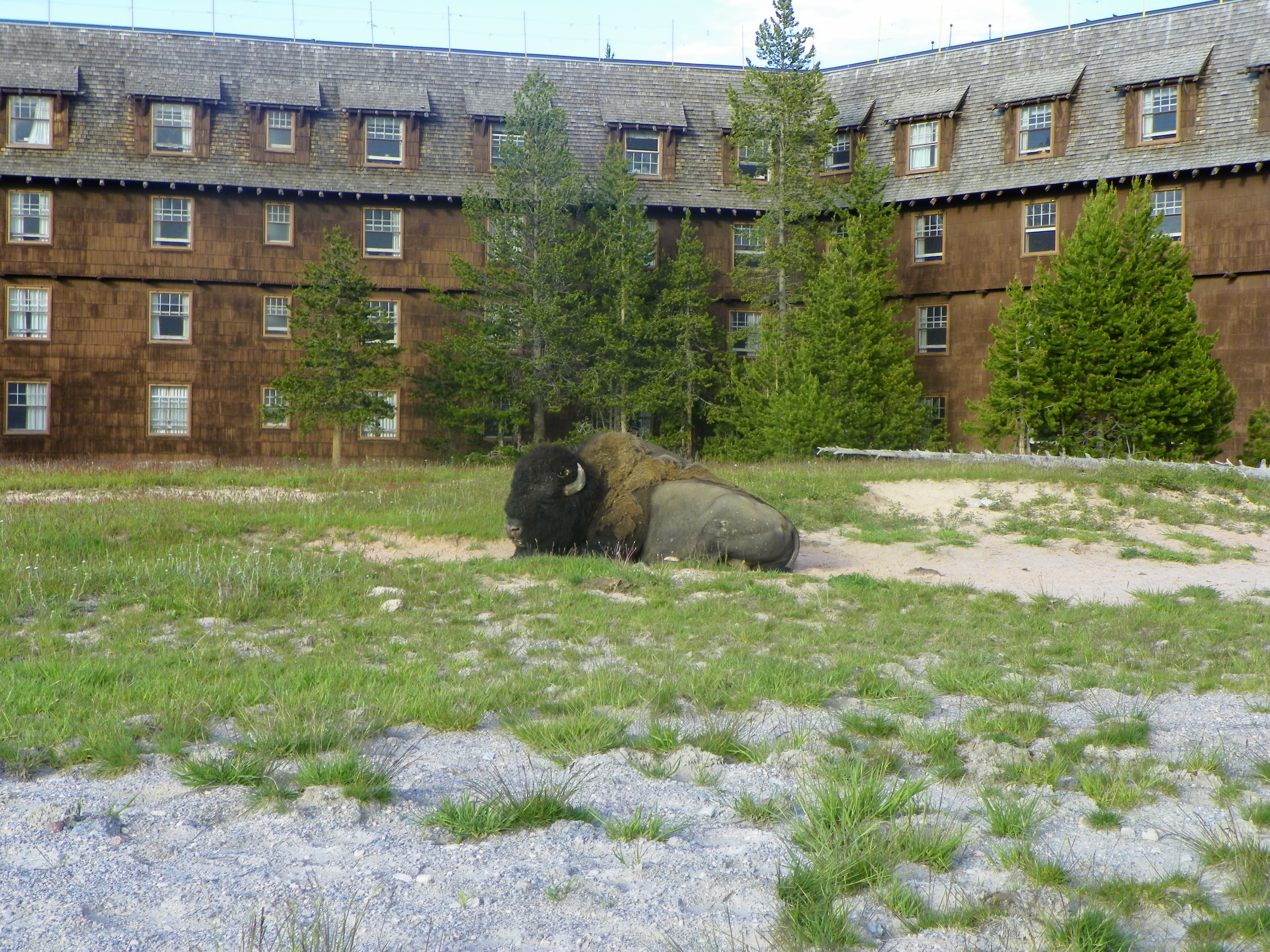 File American Bison Behind The Old Faithful Inn At