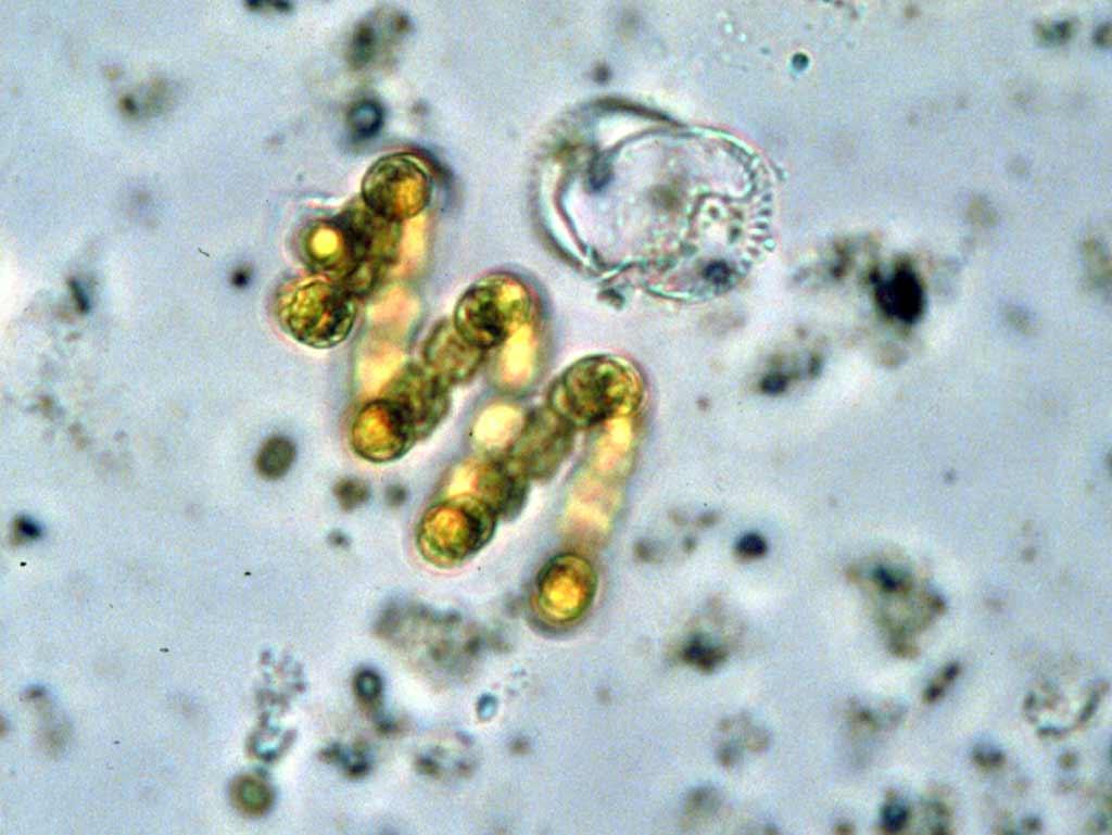 Цианобактерии — Википедия Домен Это