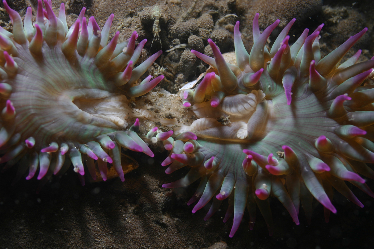 the description of anthopleura elegantissima Sexual and asexual reproduction of anthopleura dixoniana (anthozoa:  reproduction in the aggregating sea anemone, anthopleura elegantissima  description of some.