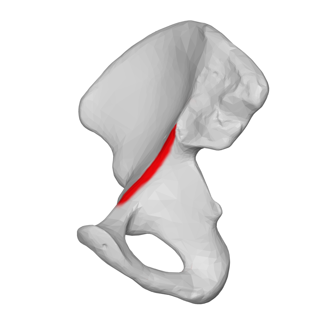 File:Arcuate line of ilium 04 medial view (Right hip bone).png ...