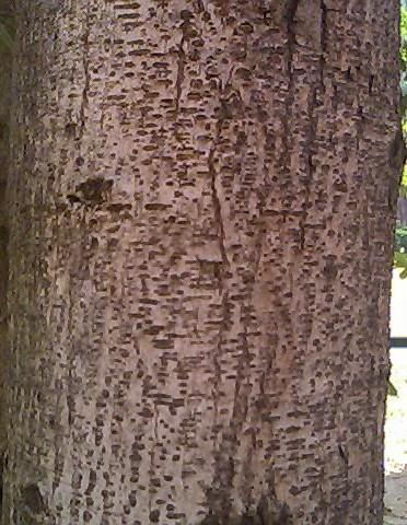File:Bark of Cassia siamia.jpg