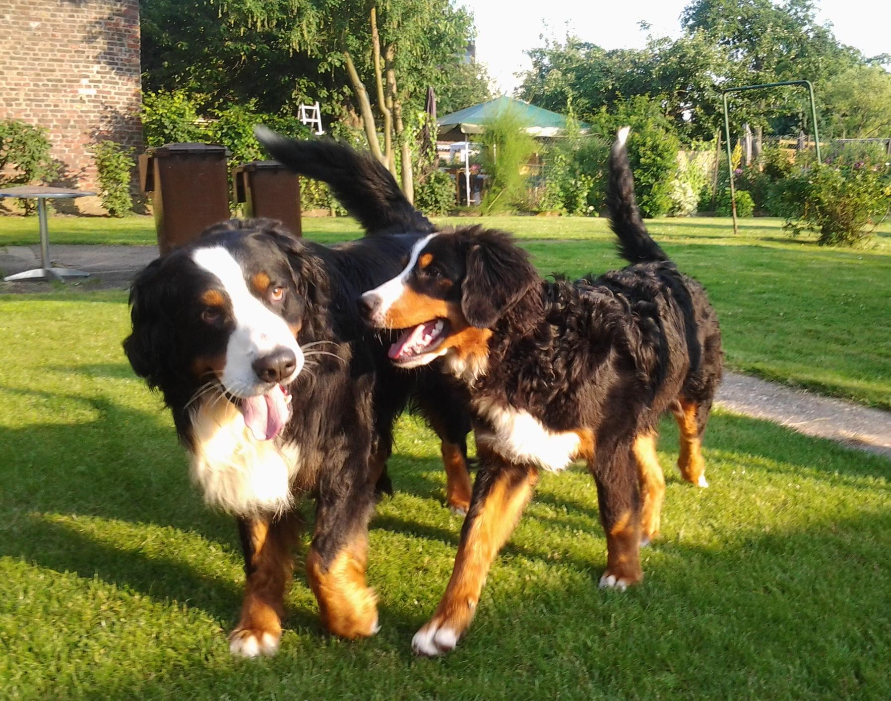Bernese Mountain Dog Puppies Wi