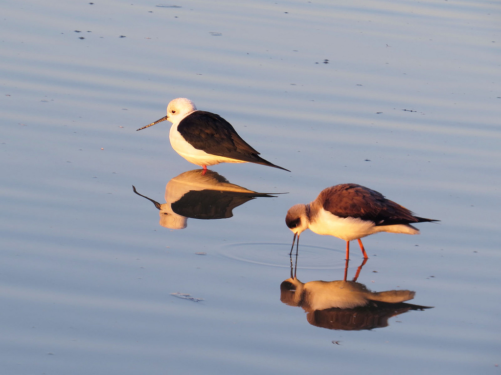 Black winged stilt.jpg