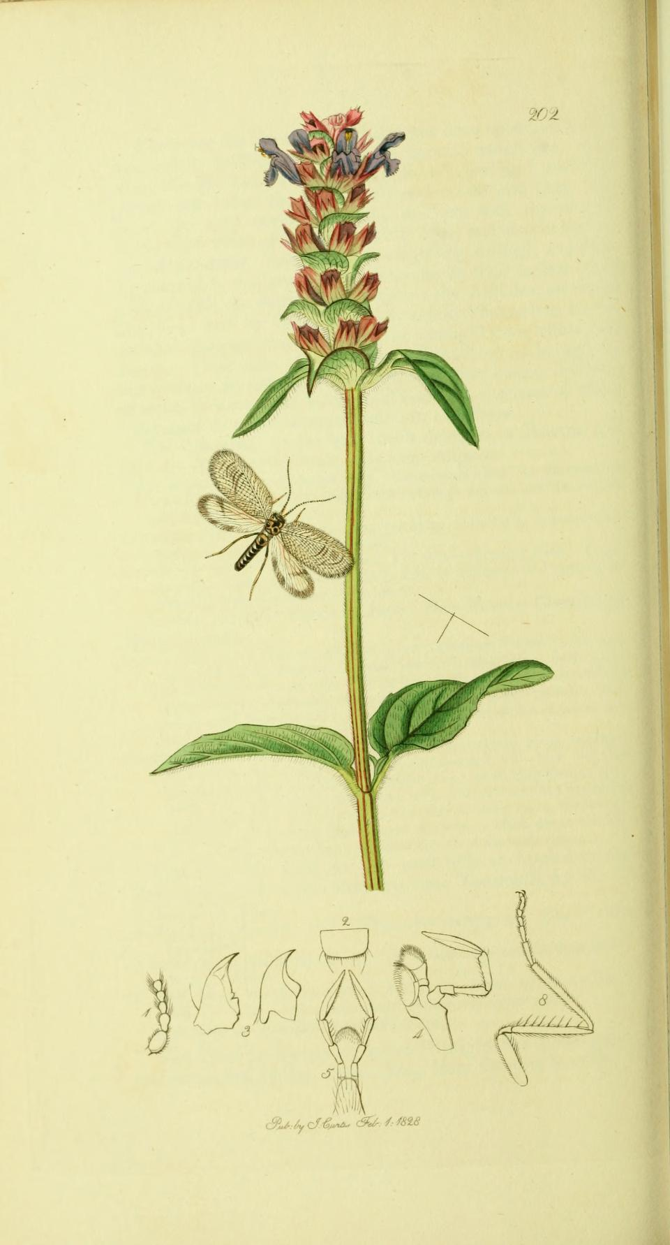 An illustration from British Entomology by John Curtis, the Bordered Brown Lacewing, Megalomus hirtus (Linn.)