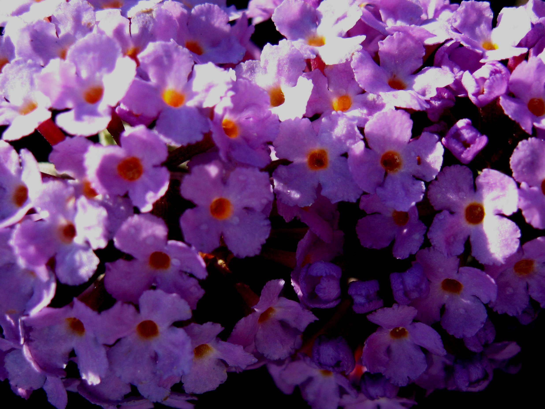 File:Buddleja Flutterby Lavender, flowers.jpg - Wikimedia ... Flowers