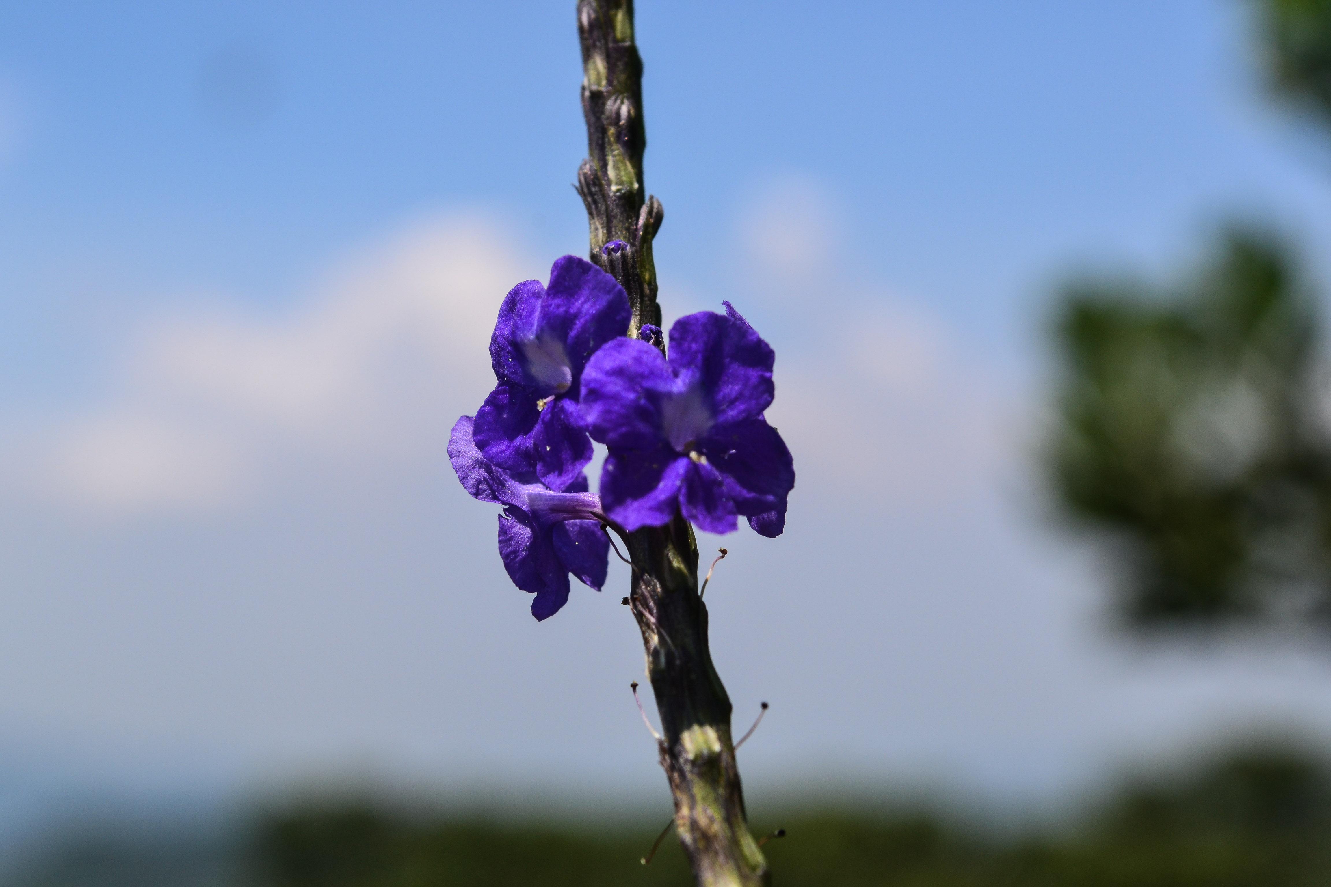 File Bunga Ungu Jpg Wikimedia Commons