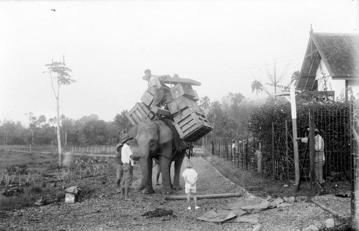 Pada masa penjajahan Belanda, gajah digunakan sebagai alat transportasi antara Geumpang dan Tangse di Aceh Pidie, Aceh. Sumber: Tropenmuseum