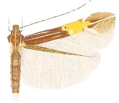 <i>Cosmopterix orthosie</i> species of insect