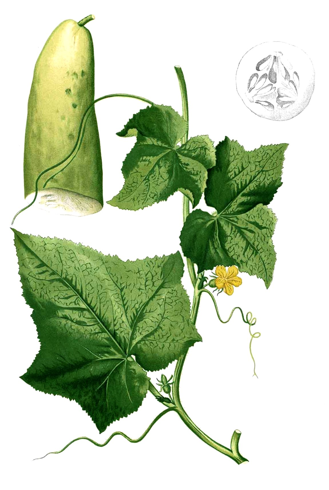 Картинка огурца растения