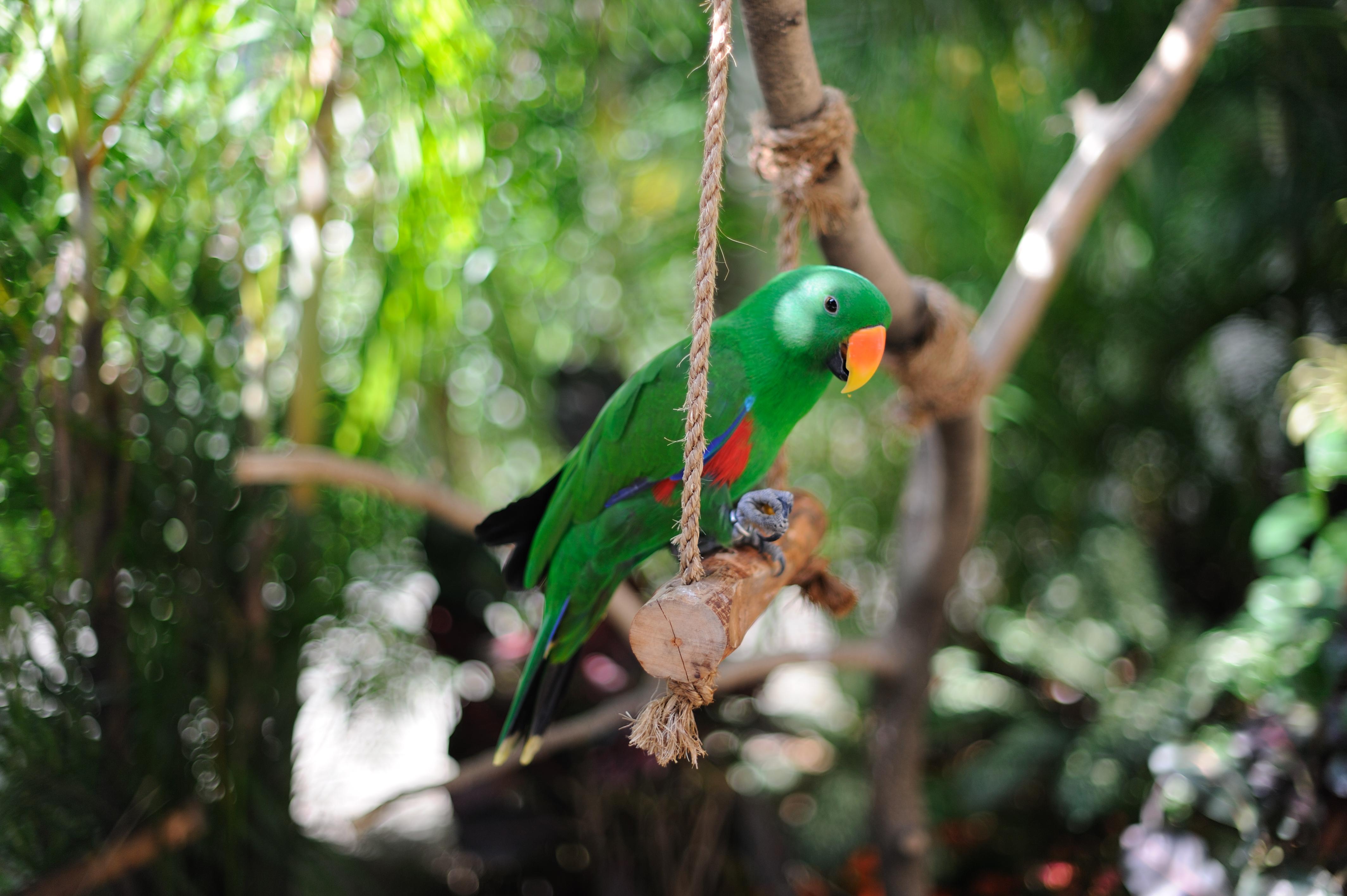 Eclectus_roratus_-Jurong_Bird_Park_-male-8a