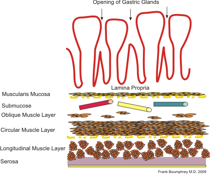 Gastric anatomy.png