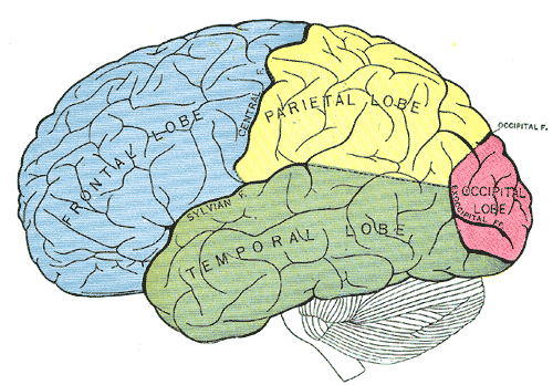 Parts of the cerebrum