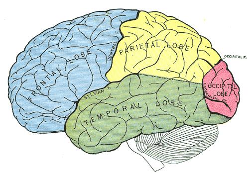hur är hjärnan uppbyggd