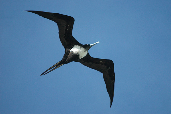great frigatebird The greater frigatebird is mainly found in the pacific (including galapagos islands) and indian oceans, and there is a population in south atlantic behaviour : the greater frigatebird feeds while flying, snatching its prey from below the surface or from the air, when it catches flying-fish.