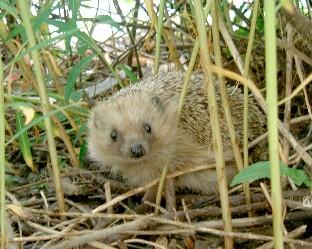 Soubor:Hedgehog-en.jpg