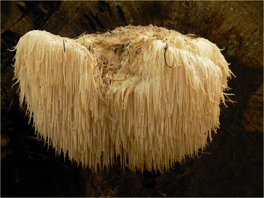 lions mane svamp