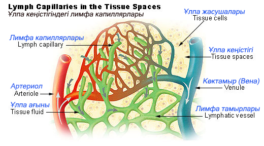 Capillaries of peripheral tissues