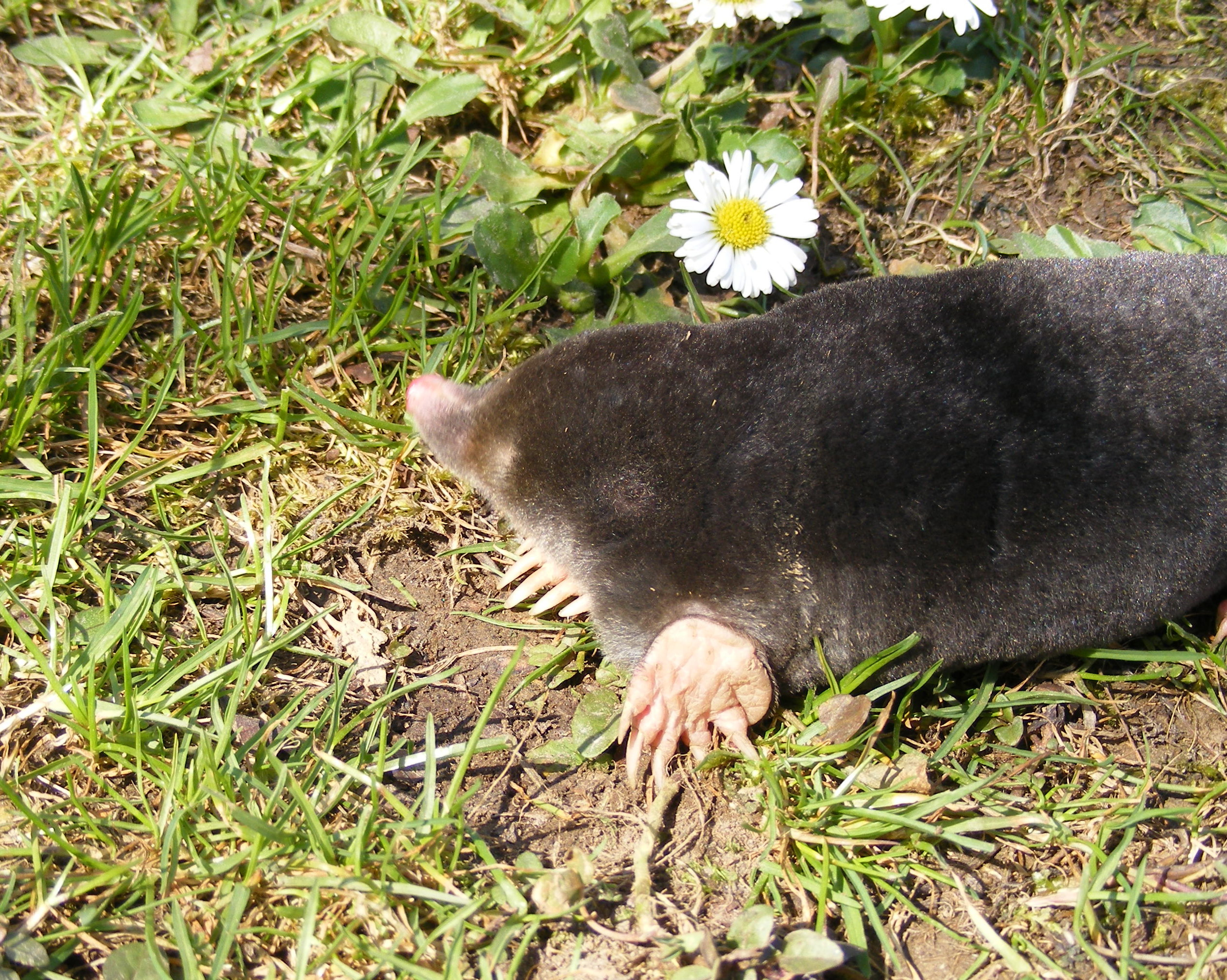 Mole (animal) - Wikipedia