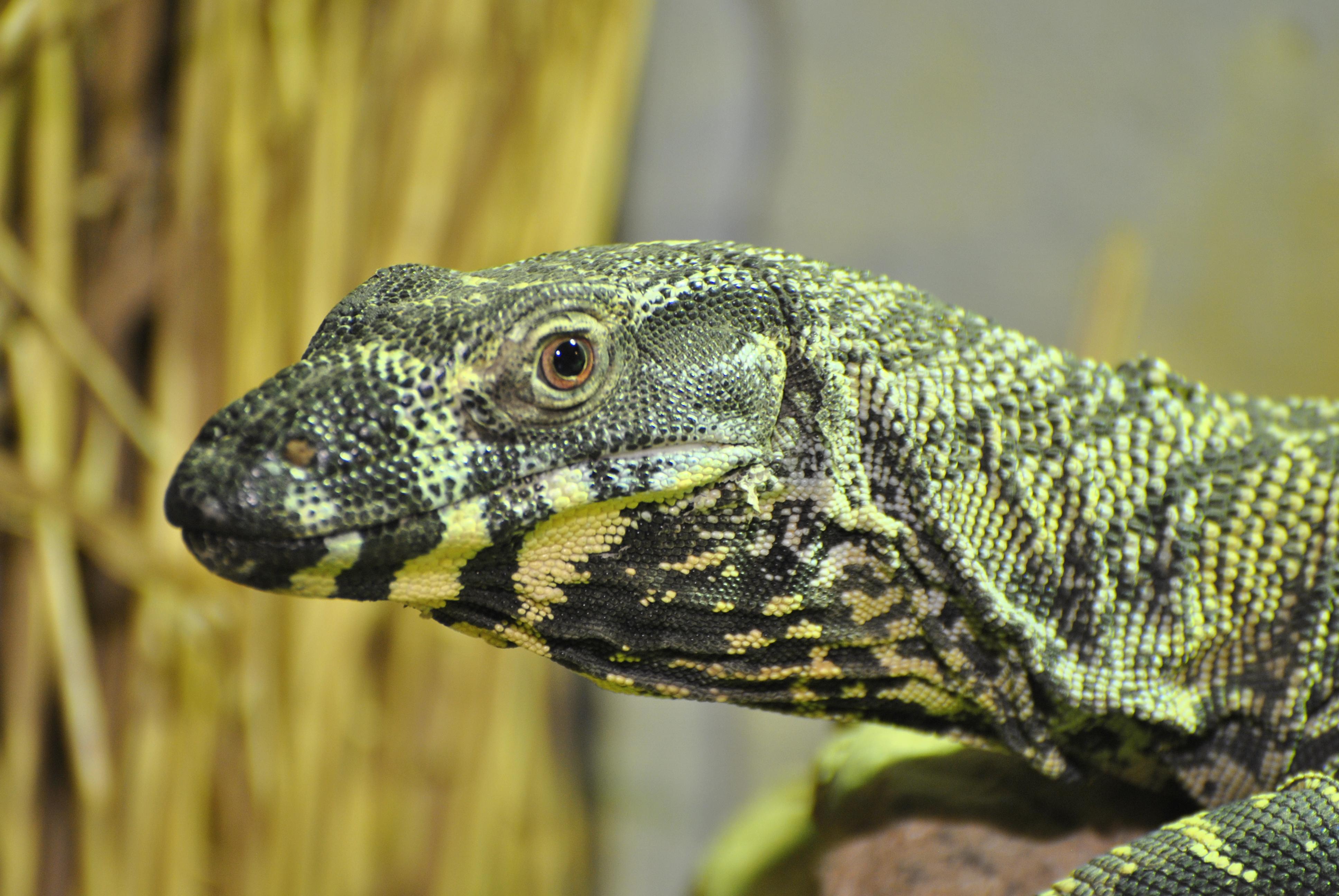 Description Lace Monitor Lizard  7006299532   2  jpgLace Monitor Size
