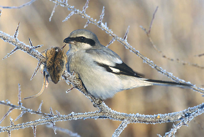 The Great Grey Shrike