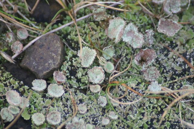 File:Lichen, Baltasound - geograph.org.uk - 1544057.jpg