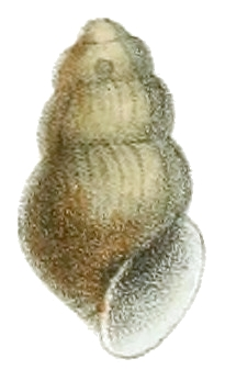 Lioplax cyclostomaformis