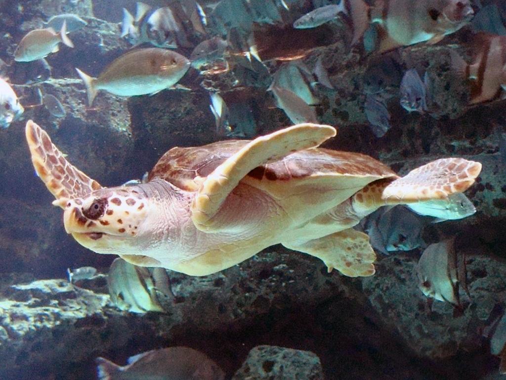 Sea Turtle Size Chart: Loggerhead Sea Turtle mirror image.jpg - Wikimedia Commons,Chart