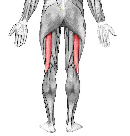 Músculo bíceps femoral - Wikipedia, la enciclopedia libre