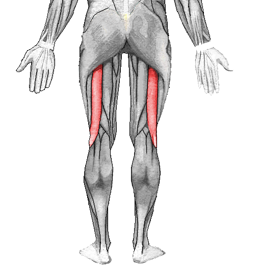 Músculo bíceps femoral - Wikiwand