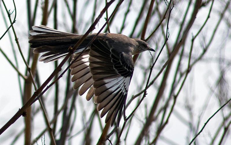 parodibirdo