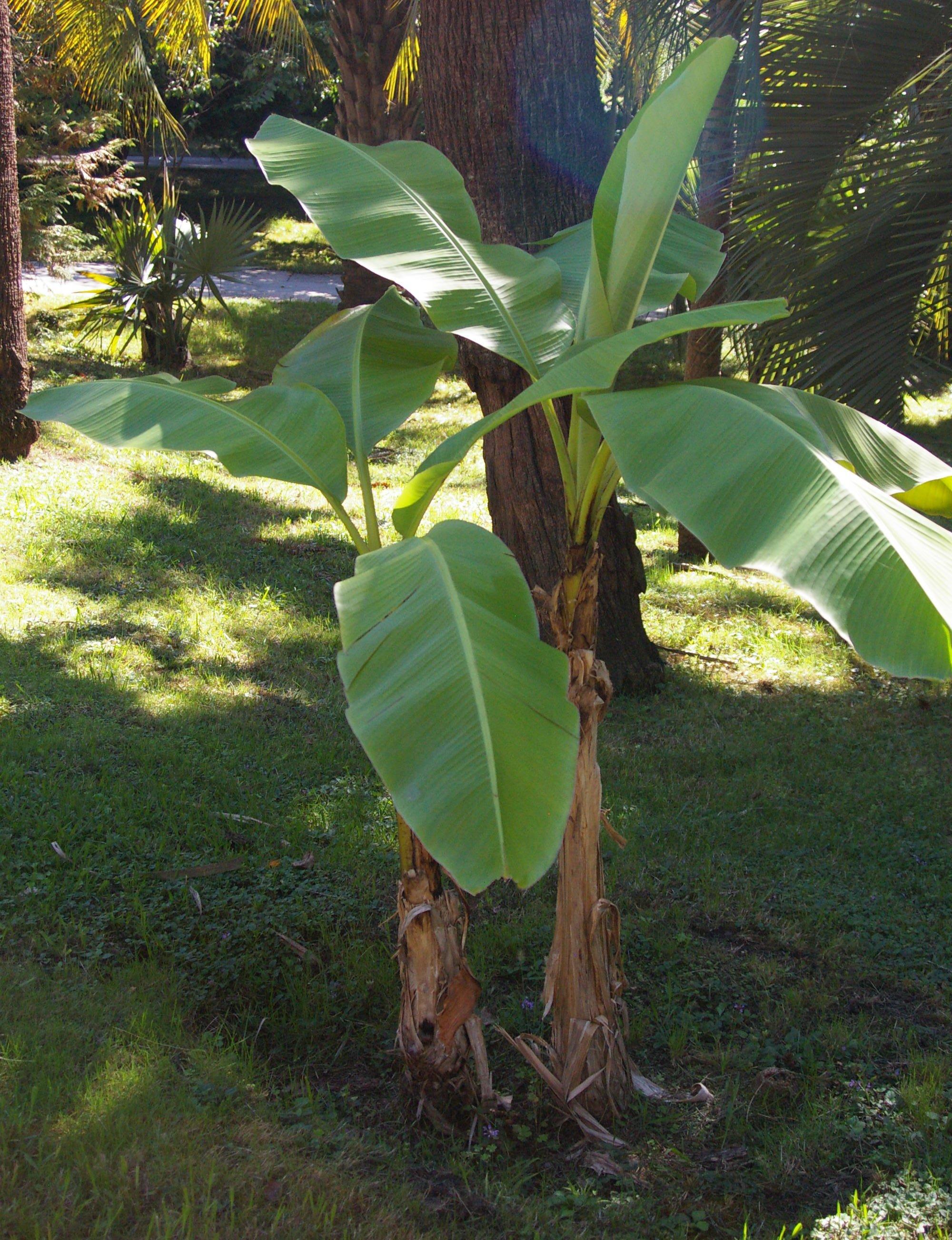 Come Coltivare Un Banano musa basjoo - wikipedia