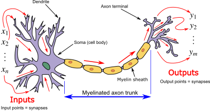 Biological neuron model - Wikipedia