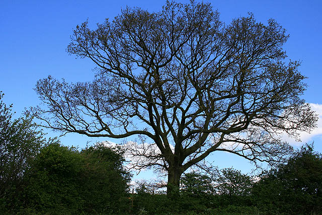 File:Oak Tree - geograph.org.uk - 1360647.jpg