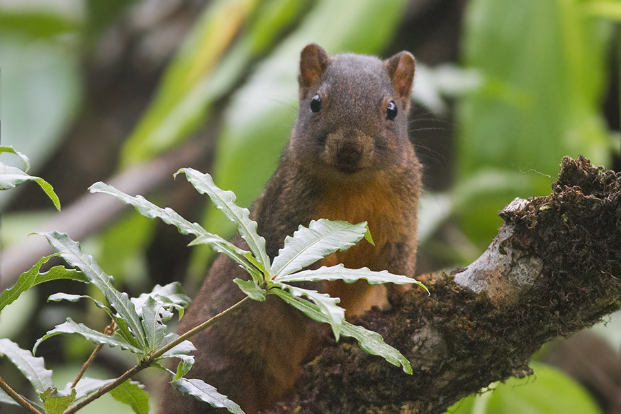 The average litter size of a Orange-bellied Himalayan squirrel is 3