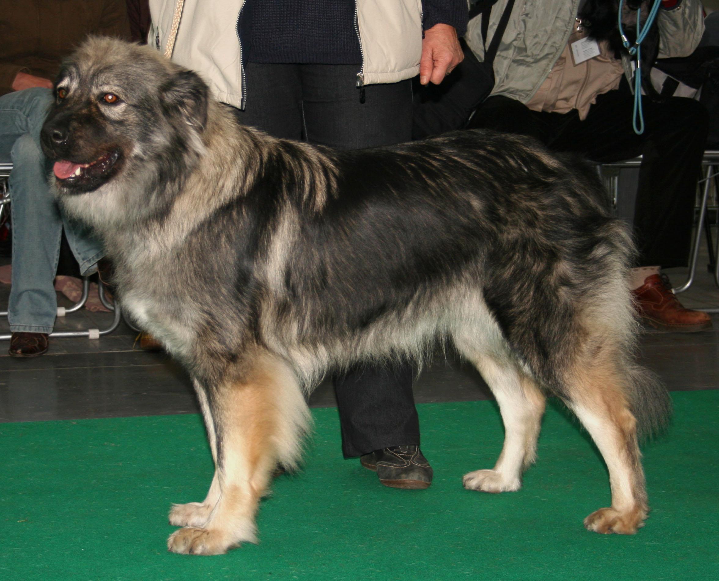 Dog Breed Info Staffy