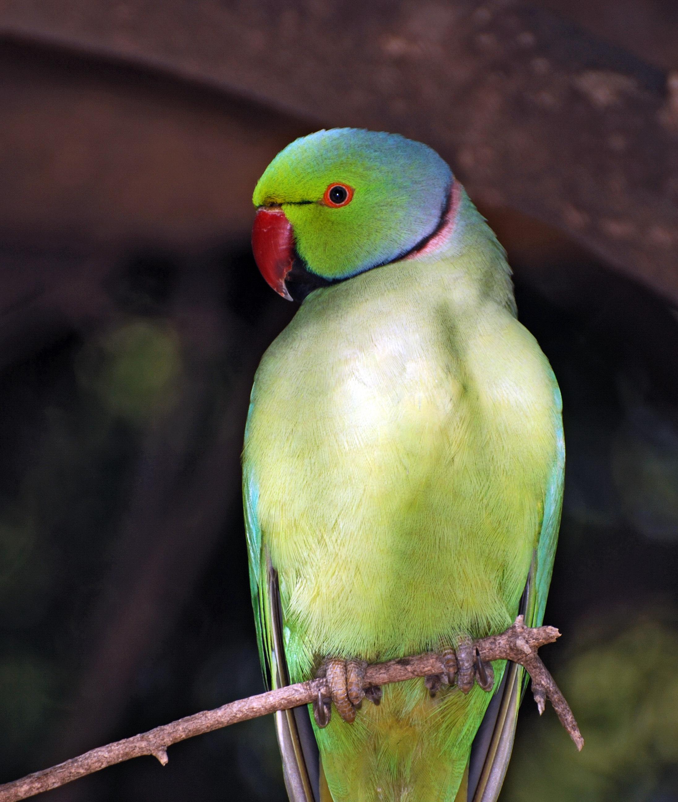 File:Parrot India 2.jpg - Wikipedia