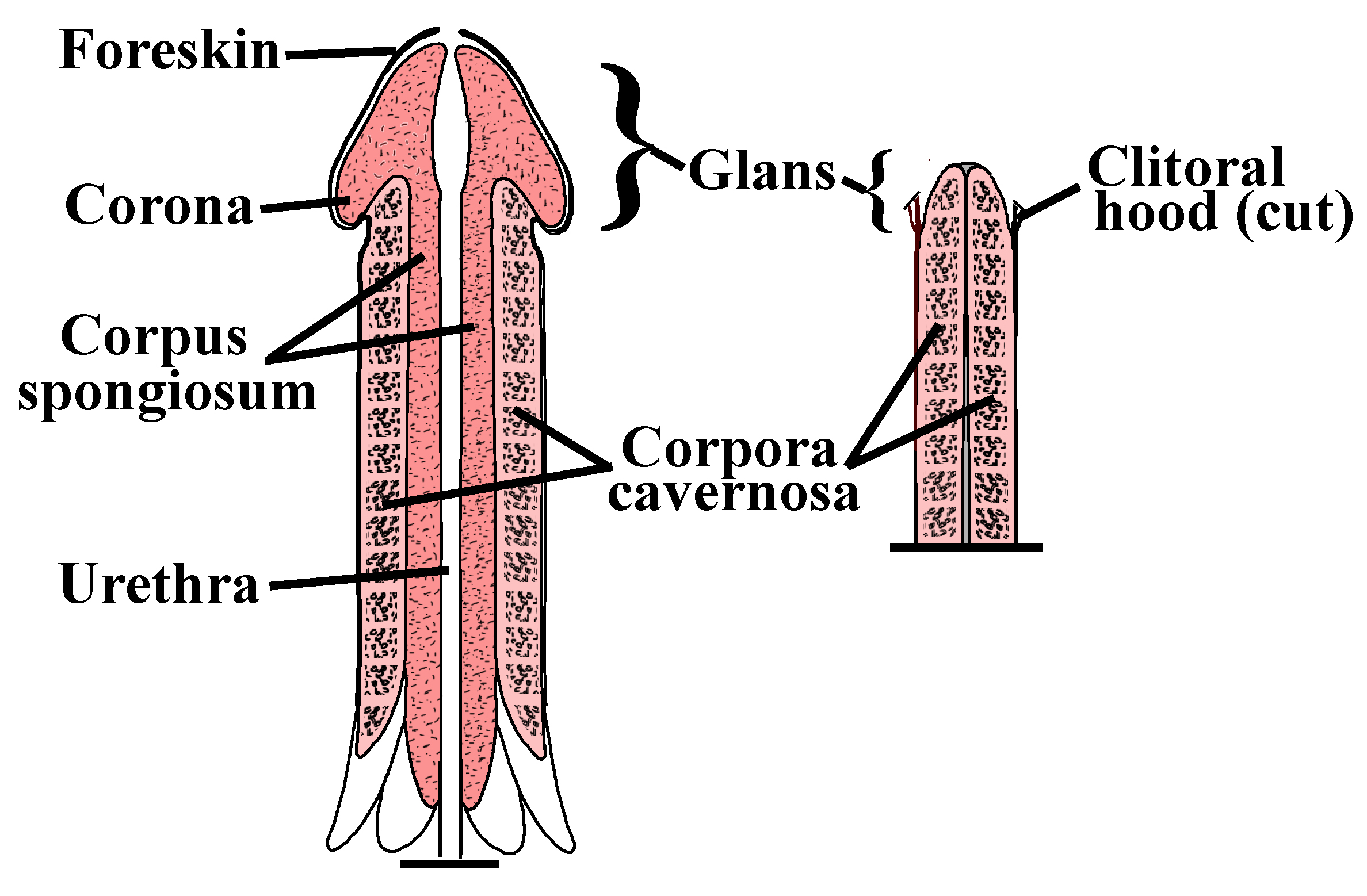 The external parts of a penis