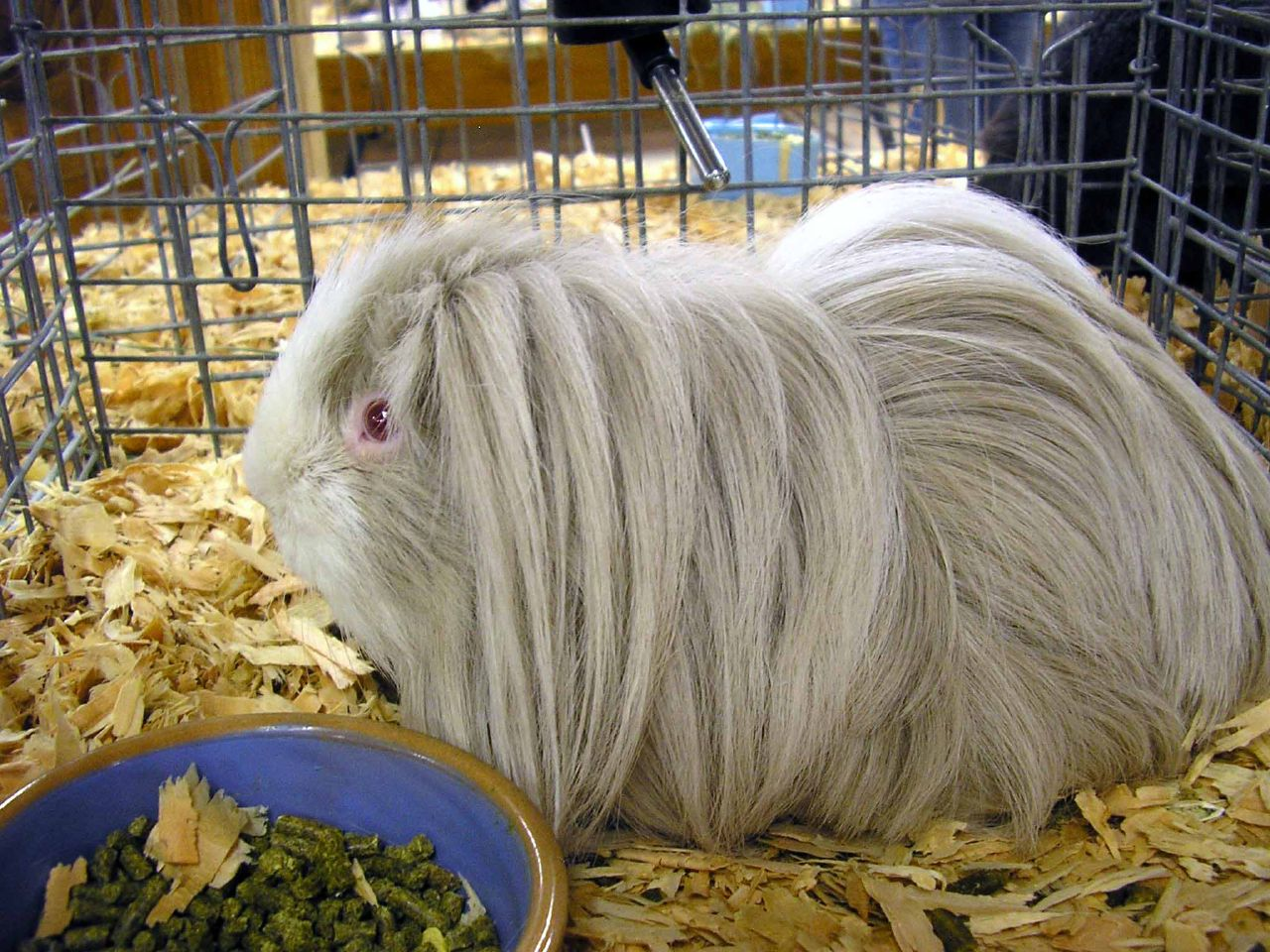 Long haired guinea pig - photo#54