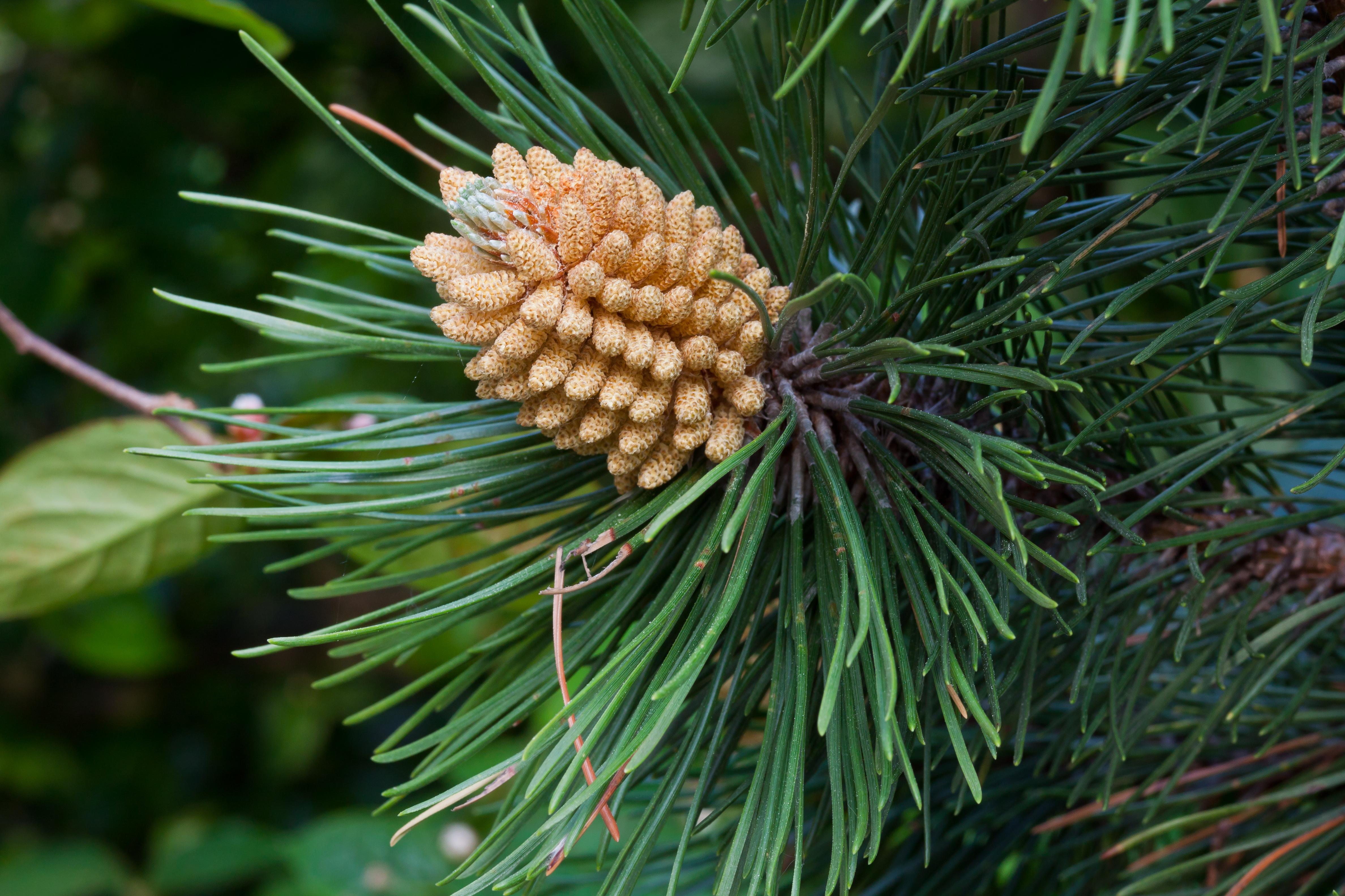 Pinus Pollen File:pinus Nigra Pollen Cone