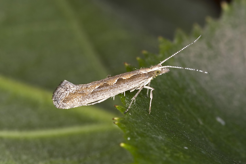 Diamondback moth - Wikipedia