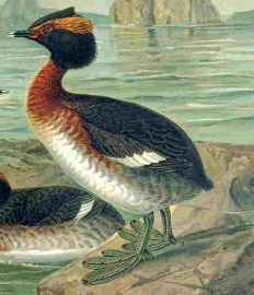 Description de l'image Podiceps auritus naumann.jpg.