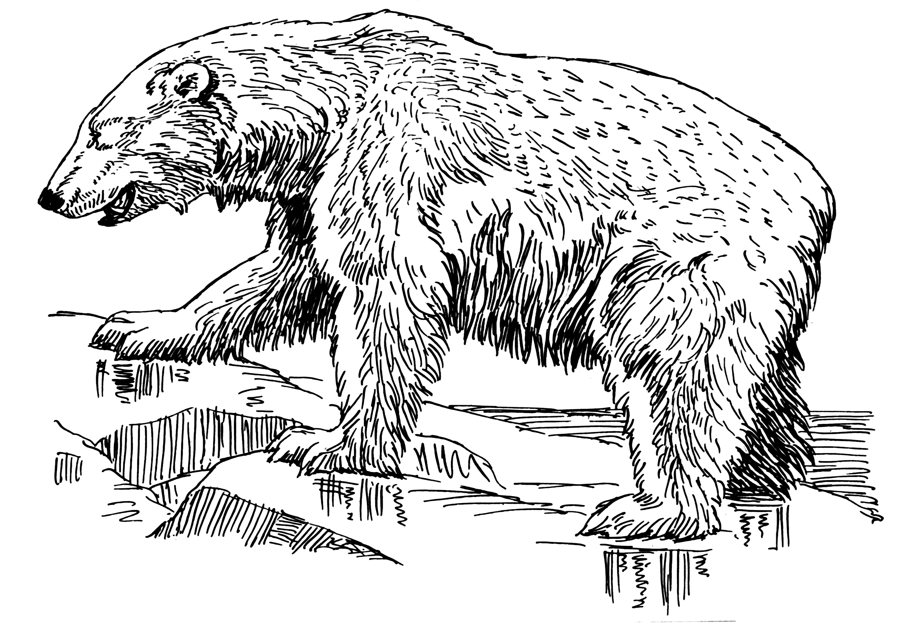 Line Art Bear : File polar bear psf wikimedia commons