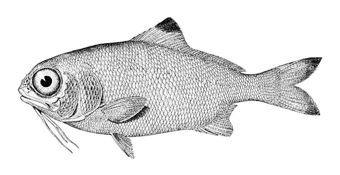 rybka, wiki