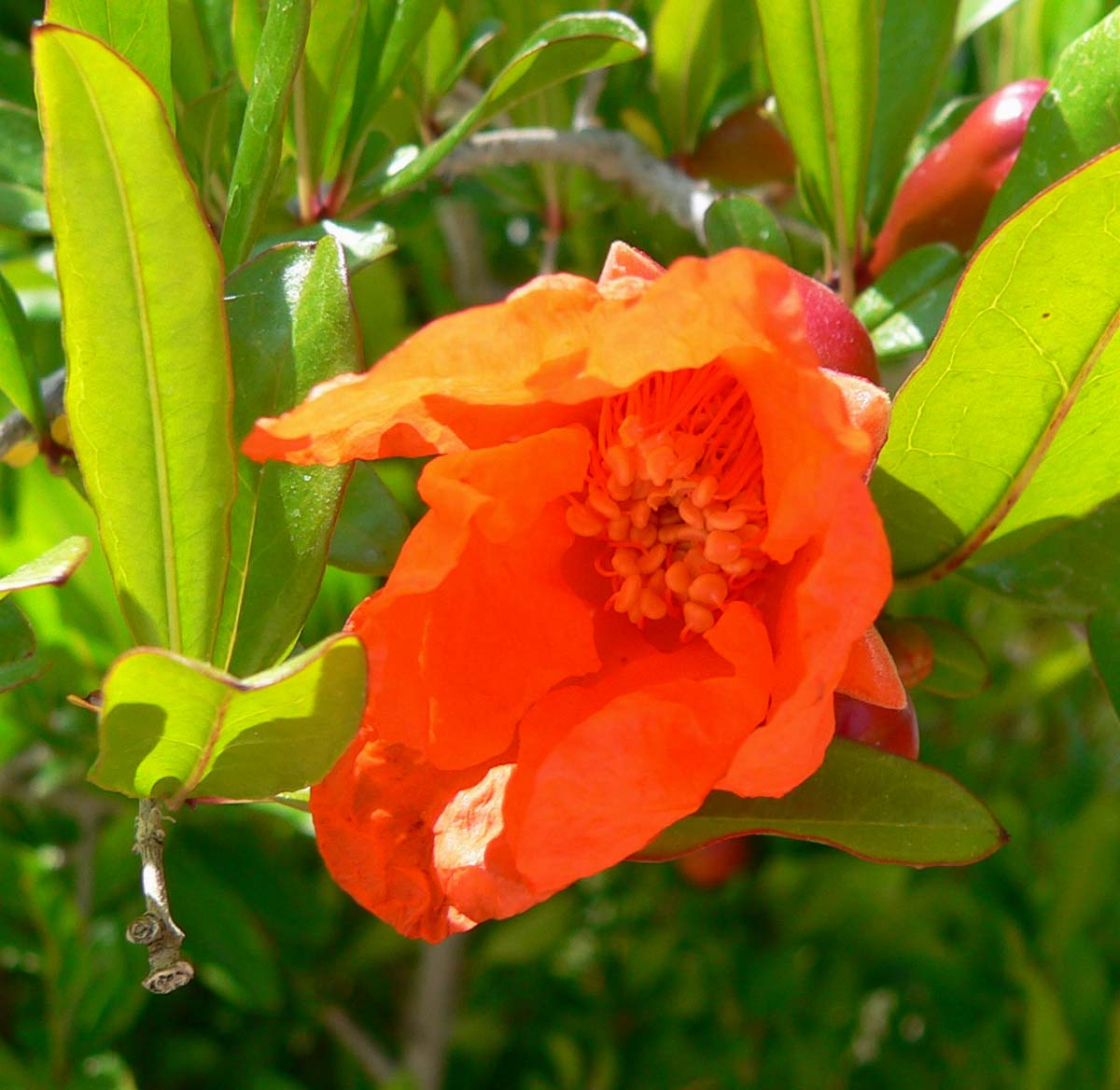 File:Punica granatum Nana flower interior.jpg - Wikimedia Commons