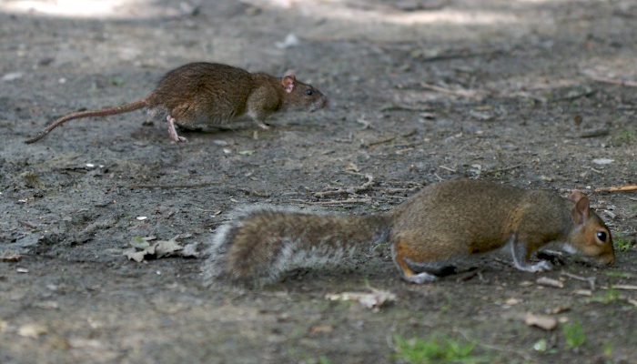 File:Rat and Squirrel.jpg