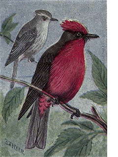 File:Reed-vermillion-flycatcher.png